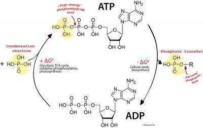 ADP ATP cycle